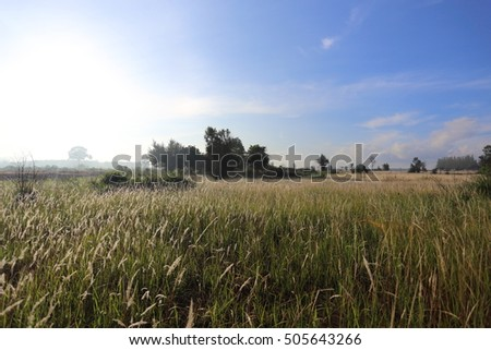 views of white field grass at Thailand