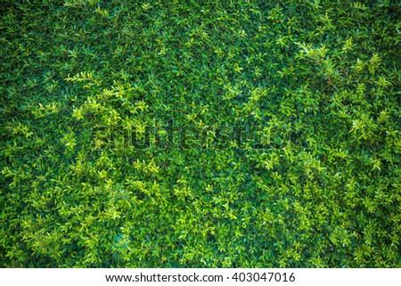 Vignette bush texture background. Beautiful vivid green leaf wallpaper and environment scene. - stock photo