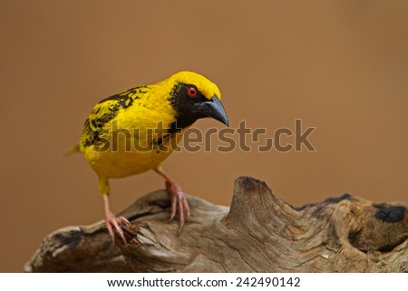 Village (Spottedbacked) Weaver perched on log; Ploceus cucullatus - stock photo