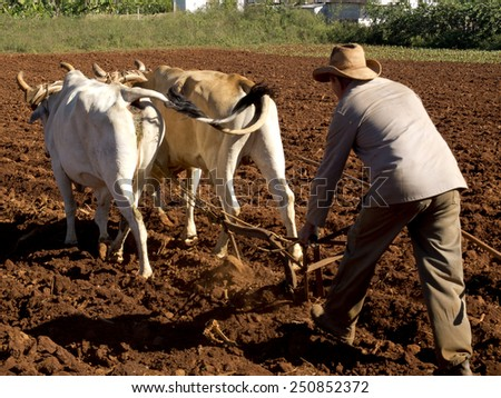 VINALES, CUBA - DECEMBER 12: peasant ploughing with two oxes and a wooden plow ,on december 12, 2014, in Vinales, Cuba  - stock photo