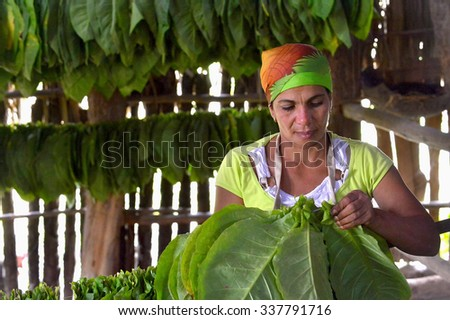 VINALES, CUBA - FEBRUARY 17:  Cuban woman working in a cigars factory.The woman touching tobacco leaves for production of the Cuban cigars  - stock photo