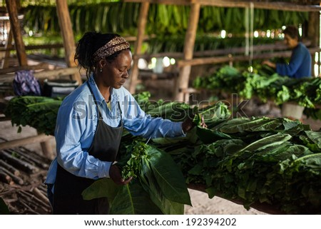 VINALES, CUBA - MARCH 04: Unidentified tobacco farmer prepares tobacco leaves to dry in Vinales, on March 04, 2011. Cuba has the second largest area planted with tobacco in the world..    - stock photo