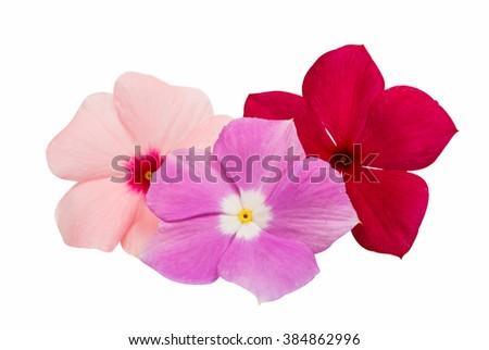 vinca rosea Flower Catharanthus roseus Madagascar periwinkle on white background - stock photo