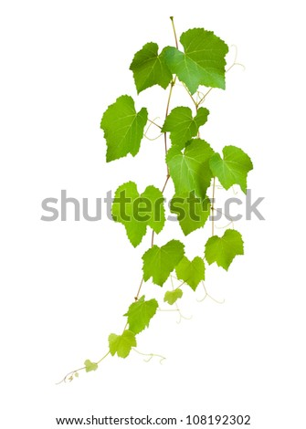 Vine branch isolated on white background - stock photo