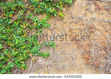 Vine Branch, Vine leaves on wall background - stock photo