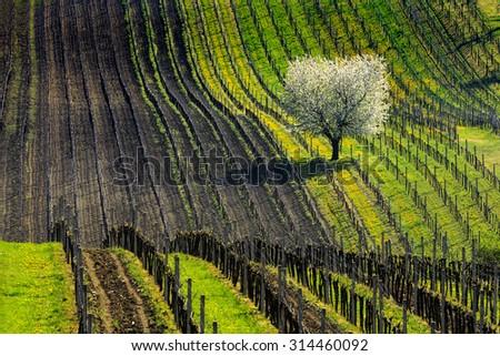 Vine hill and white tree - stock photo