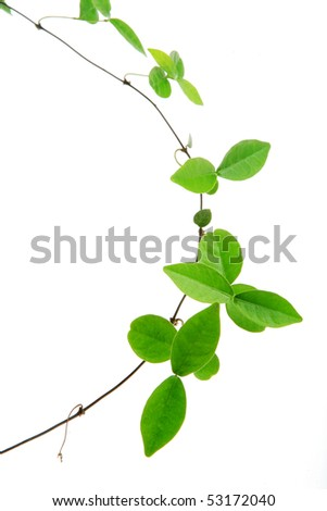 vine isolated on white background - stock photo