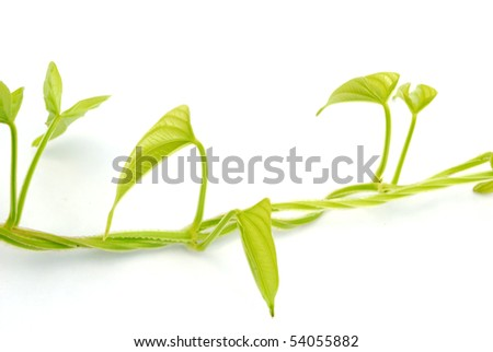 Vine isolated on white background