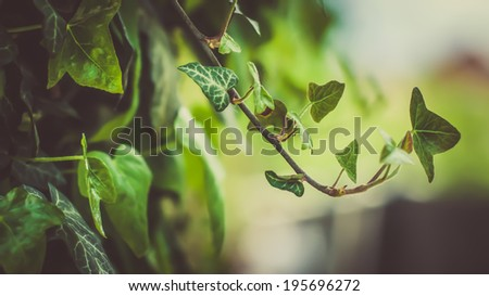 Vine leaves close up. Shallow DOF and beautiful bokeh. Nature photography. - stock photo