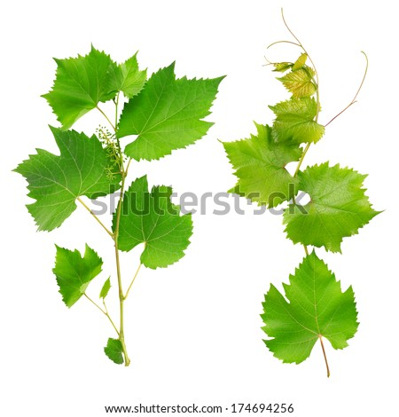 vine leaves isolated on white background - stock photo