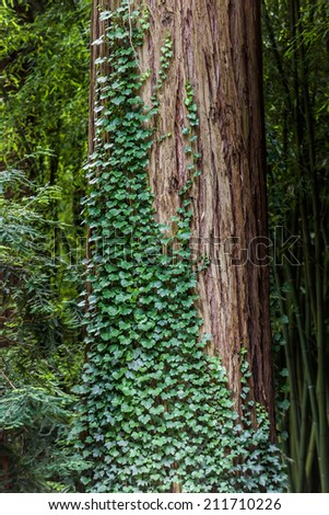 vine on tree trunk - stock photo