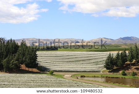 Vine plants protected against bird picking on vineyard in New zealand - stock photo