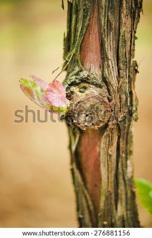 Vine shoots in spring, Bud -Vineyard south west of France, Bordeaux Vineyard - stock photo