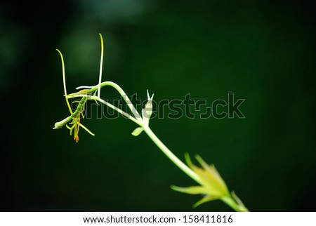 Vine tendril A delicate vine tendril and a green background.  - stock photo