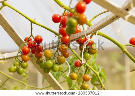 Vine tomato, Agriculture product if red tomato vine bush growing in the garden field - stock photo