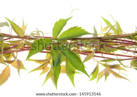 Vine twigs isolated on white background