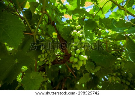 Vine unripe grapes closeup - stock photo