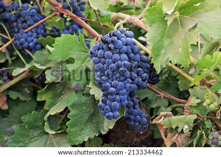 Vine with ripe grapes in the field - stock photo
