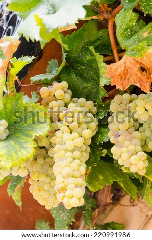 Vine with white grapes. Agriculture and winery concept - stock photo