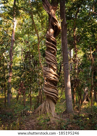 Vine wrapped tightly around a tree in Bardia National Park, Nepal - stock photo