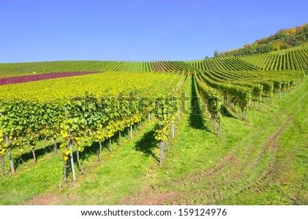 Vines and colorful autumnal leaves in the vineyard