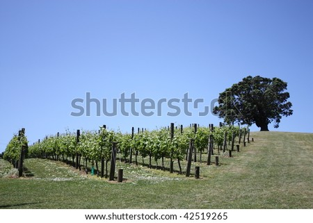 Vines and Pohutukawa tree at Goldwater Winery, Waiheke Island, Auckland New Zealand - stock photo