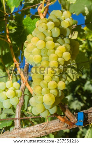 Vines with juicy ripe white grapes ready to be harvested. - stock photo