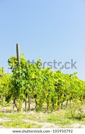 vineyar near Cereseto, Piedmont, Italy - stock photo