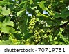 Vineyard. - stock photo