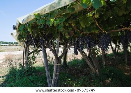 Vineyard. - stock photo