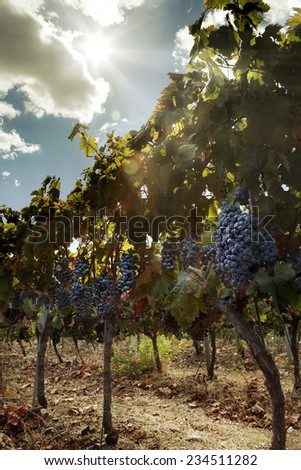 Vineyard and grapes in a sunny day - stock photo