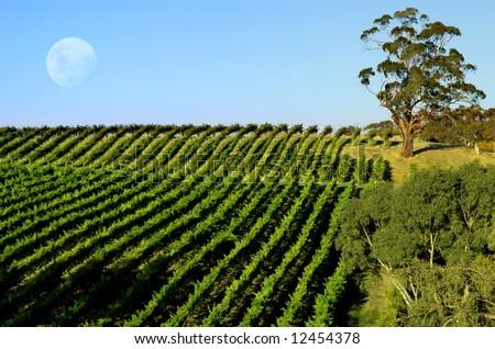 Vineyard and Moon - stock photo
