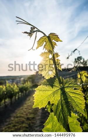 Vineyard at dusk, Saumur, France - stock photo