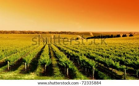Vineyard at One Tree Hill, South Australia - stock photo