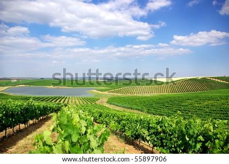 Vineyard at Portugal, Alentejo region. - stock photo
