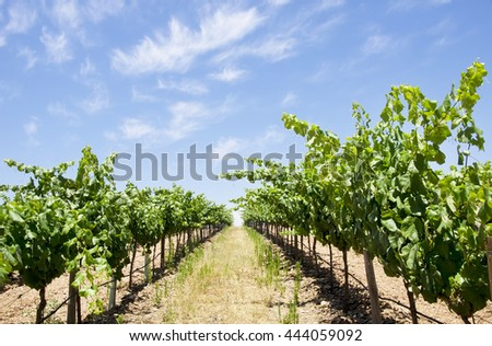 Vineyard at south of Portugal, Alentejo region - stock photo
