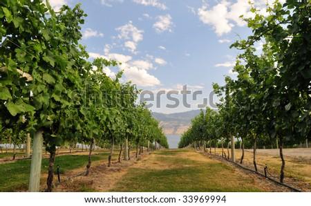 vineyard by Okanagan Lake near Kelowna - stock photo