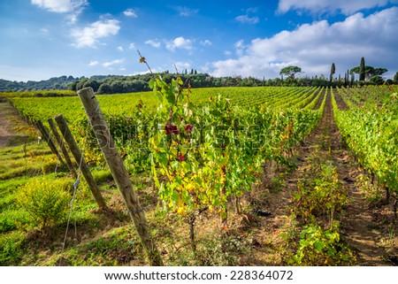 Vineyard full of grapes in Tuscany - stock photo