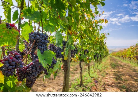 Vineyard full of ripe grapes in Tuscany - stock photo