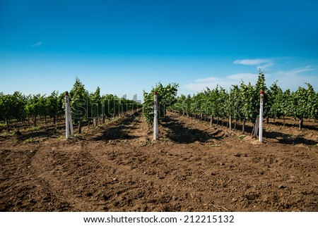 vineyard, grape cultivation, vine - stock photo