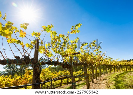 Vineyard grape vines close up. Leaves backlit with sun flare.  Close up with copy space. - stock photo