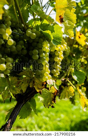 Vineyard - grapes on the vine - stock photo