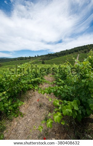 Vineyard , Green grapes leaves in a sunny vineyard - stock photo
