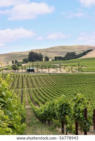 Vineyard hill in napa valley - stock photo