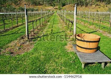 Vineyard in Australia with rows of grape vines with no foliage. - stock photo