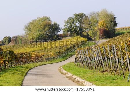 vineyard in autumn - stock photo