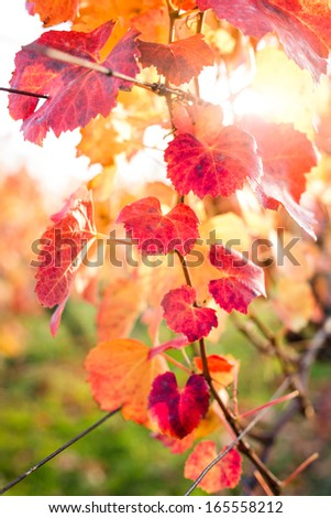 Vineyard in Autumn. Shallow depth of field. - stock photo