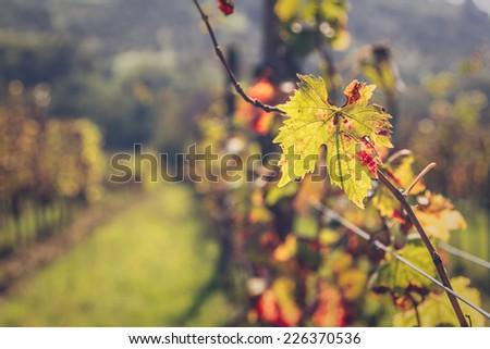 Vineyard in Chianti region, Tuscany, Italy - stock photo