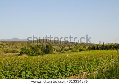 Vineyard in Espolla emporda Catalonia spain girona - stock photo