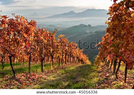 Vineyard in fall in mountain - stock photo